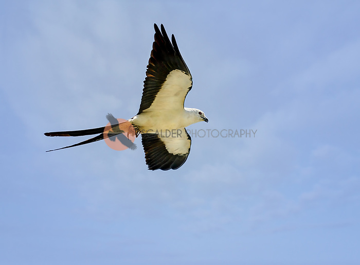 Swallow-Tailed Kite in flight holding prey in feet against blue sky with soft high clouds