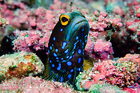 blue-spotted jawfish, Opistognathus rosenblatti, Cocos Island, Costa Rica, Pacific Ocean