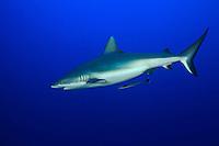 Grey Reef Shark (Carcharhinus amblyrhynchos) off New Britain Island, Papua New Guinea.
