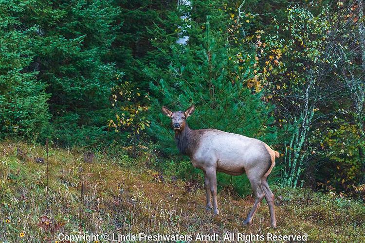 Female elk near Clam Lake in northern Wisconsin.