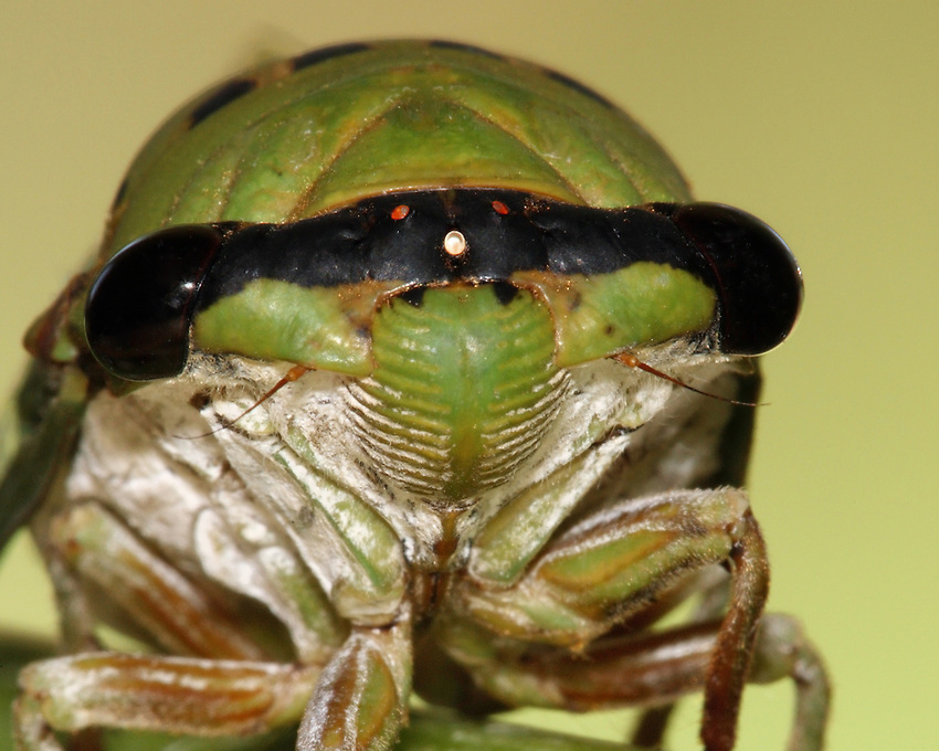 """Superb Green Cicada, sometimes called  """"harvestflies"""" or """"dog day cicada"""". These insects emerge from the larva stage during the hot days of summer."""