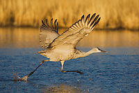 Sandhill Crane (Grus canadensis), adult taking off, Bosque del Apache National Wildlife Refuge , New Mexico, USA,