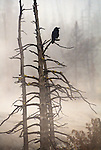 A lone raven perches at the top of a tree in Yellowstone National Park.