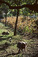 Europe/France/Limousin/19/Corrèze/Vallée de la Dordogne/Env Beaulieu-sur-Dordogne: Ramassage des noix<br /> PHOTO D'ARCHIVES // ARCHIVAL IMAGES<br /> FRANCE 1980