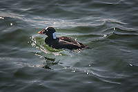 """Whatbird.com says:  """"The Surf Scoter has a boldly patterned head that is the basis for its colloquial name """"skunk-headed coot.""""  The Surf scoter's head includes its multicolored bill with patterns of  orange or yellow, white, red and black."""