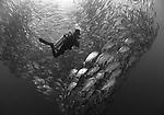 A diver and a school of horse-eye jacks, Caranx sexfasciatus, on the USS Liberty Wreck, Tulamben, Bali, Indonesia, Pacific Ocean