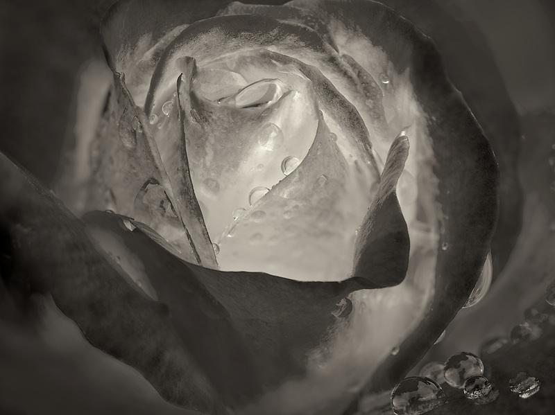 Double Delight rose. Oregon