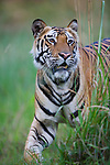 Male Bengal tiger (Panthera tigris) walking in tall dry grass, close-up, dry season, April