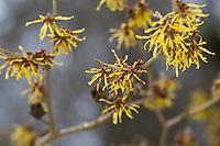 Hybrid-Zaubernuss, Hybrid-Zaubernuß, Hamamelis × intermedia, Kreuzung der beiden ostasiatischen Arten Hamamelis mollis und Hamamelis japonica, hybrid witch hazel
