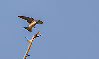 Tree Swallow landing with feet forward on bare branch against bright blue sky