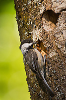 Adult Black-capped Chickadee (Poecile atricapillus) at nest cavity.  Pacific Northwest. June.