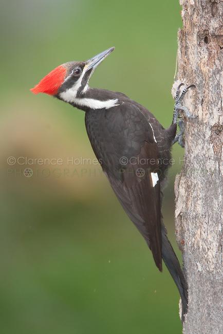Pileated Woodpecker (Dryocupus pileatus) - Female, at Fort Desoto Park, Tierra Verde, Florida