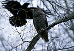 Great Horned Owl watching an American Crow approach its perch in Minnesota.