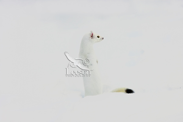 Ermine or short-tailed weasel (Mustela erminea) in white winter coat.  Montana/Wyoming border area.  December.