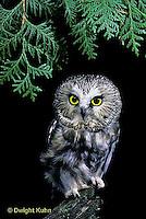 OW02-059h   Saw-whet owl - sitting on branch - Aegolius acadicus
