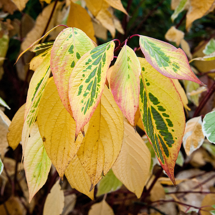 Autumn foliage of Cornus alba 'Elegantissima', early November.