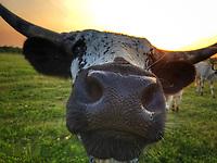 Mama Longhorn - Texas