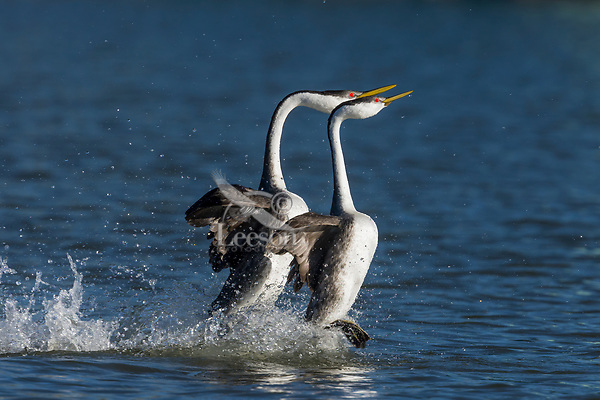 "Western Grebe (Aechmophorus occidentalis) pair ""rushing"" or courtship dance.  Western U.S., May."