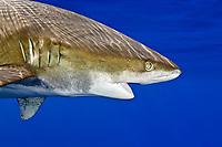 oceanic whitetip shark, Carcharhinus longimanus, open mouth, Kona Coast, Big Island, Hawaii, USA, Pacific Ocean