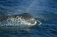 Sperm whale Physeter macrocephalus spouting on the surface. Sperm whales have the largest brain of any animal