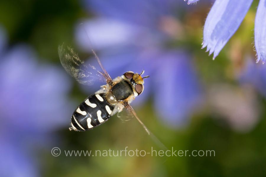 Späte Großstirnschwebfliege, im Flug, fliegend, Späte Großstirn-Schwebfliege, Weiße Dickkopf-Schwebfliege, Blasenköpfige Schwebfliege, Halbmondschwebfliege, Halbmond-Schwebfliege, Johannisbeer-Schwebfliege, Weibchen, Blütenbesuch an Wegwarte, Scaeva pyrastri, pied hoverfly, cabbage aphid hover fly, female, Le Syrphe pyrastre