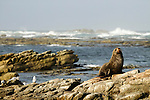 New Zealand Fur Seal (Arctocephalus forsteri) bull on coastal rocks, Kaikoura, South Island, New Zealand
