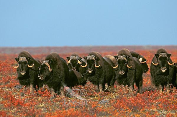 MUSKOXEN on arctic tundra.<br /> Northwest Territories, Canada.<br /> Autumn. Ovibos moschatus.