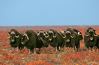 MUSKOXEN on arctic tundra.<br /> Northwest Territories, Canada.<br /> Autumn. Ovibos moschatus.