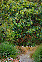 Arbutus unedo, Strawberry Tree in California water-wise, summer-dry sustainable garden with grasses