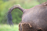 If a bison's tail is up, it's either going to charge… or discharge.