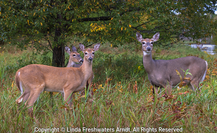 White-tailed deer feeding under a black cherry tree in northern Wisconsin.