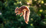 Squirrels in comical poses as they leap through the air with a walnut by Niki Colemont