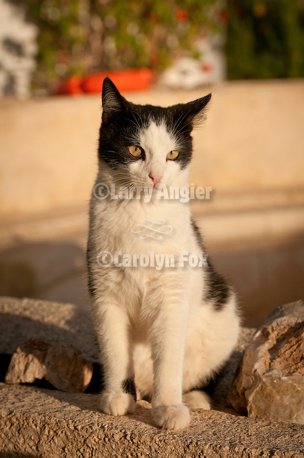Black and white cat at the Ampelos Resort hotel, Chora, Folegandros, Greece