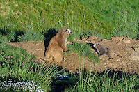 Olympic Marmots (Marmota olympus)--mother and young pup near den.  Olympic National Park, WA.  Summer.