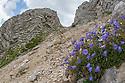 Fairy's Thimble {Campanula cochleariifolia} growing on limestone scree. Triglav National Park, Julian Alps, 2000m, Slovenia. July.