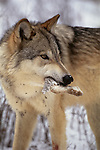 Gray wolf with snowshoe hare kill, Montana