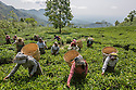 Indian Tea - STOCK