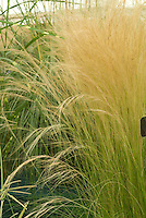 Stipa tenuissima 'Pony Tails' ornamental grass aka Nasella, Mexican Feather Grass Nassella