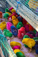 Jimbaran, Bali, Indonesia.  Baby Multicolored Chicks for Sale as Pets.