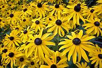 Black-eyed Susan flowers. Hughes Water Gardens, Oregon