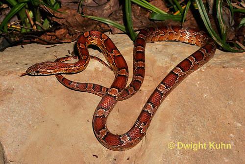 1R22-596z  Corn Snake, Banded Corn Snake, Elaphe guttata guttata or Pantherophis guttata guttata