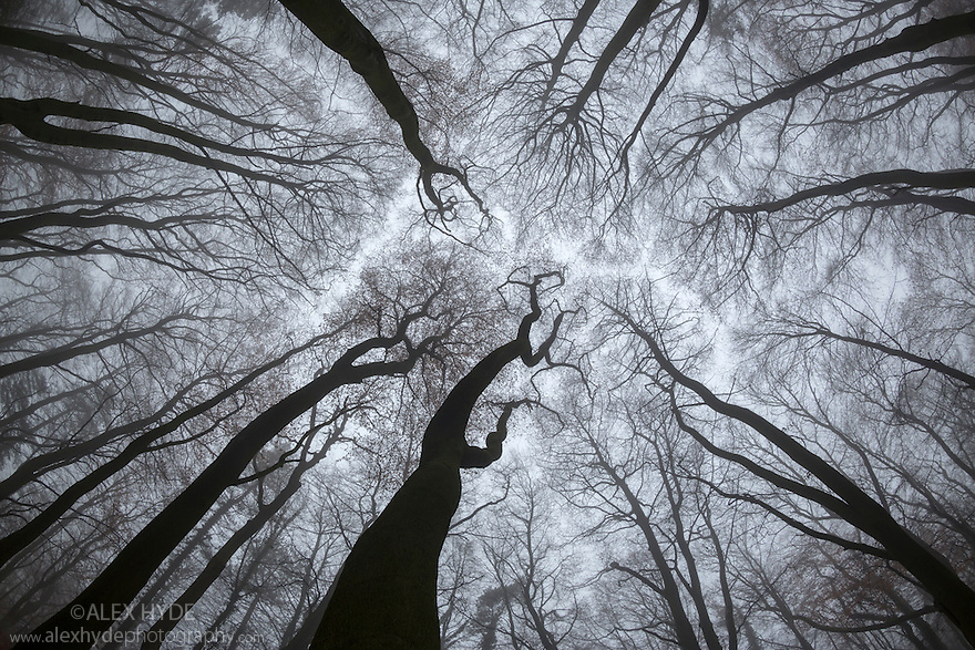 Looking up at Beech {Fagus sylvatica} woodland canopy in winter. Derbyshire, UK. December.