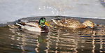 Mallard duck pair in early spring in Montana
