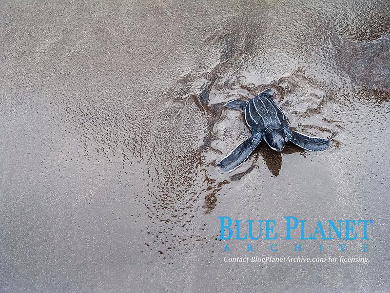 leatherback sea turtle, Dermochelys coriacea, hatchling, Rosalie, Commonwealth of Dominica, Dominica, Caribbean Sea, Atlantic Ocean