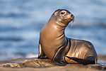 La Jolla, California; a California sea lion pup basking in early morning sunlight, while resting on the rocky shoreline along the Pacific Ocean
