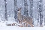 White-tailed doe standing watch as the snow falls in northern Wisconsin.