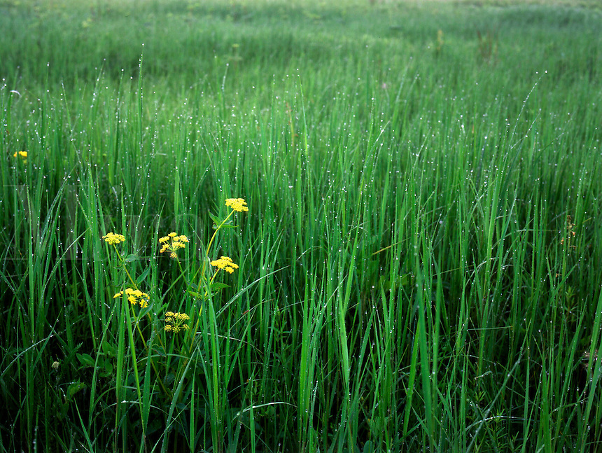 Golden Alexander and native prairie grass, Chipera Prairie,Winneshiek County, IA. Chipera Prairie, Iowa.