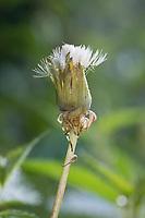 Löwenzahn, verblühte, zunächst geschlossene  Blüte öffnet sich bei Fruchtreife, Löwenzahn-Wiese, Löwenzahnwiese, Wiesen-Löwenzahn, Wiesenlöwenzahn, Gemeiner Löwenzahn, Gewöhnlicher Löwenzahn, Kuhblume, Taraxacum officinale, Taraxacum sect. Ruderalia, Dandelion, common dandelion, Dent de lion