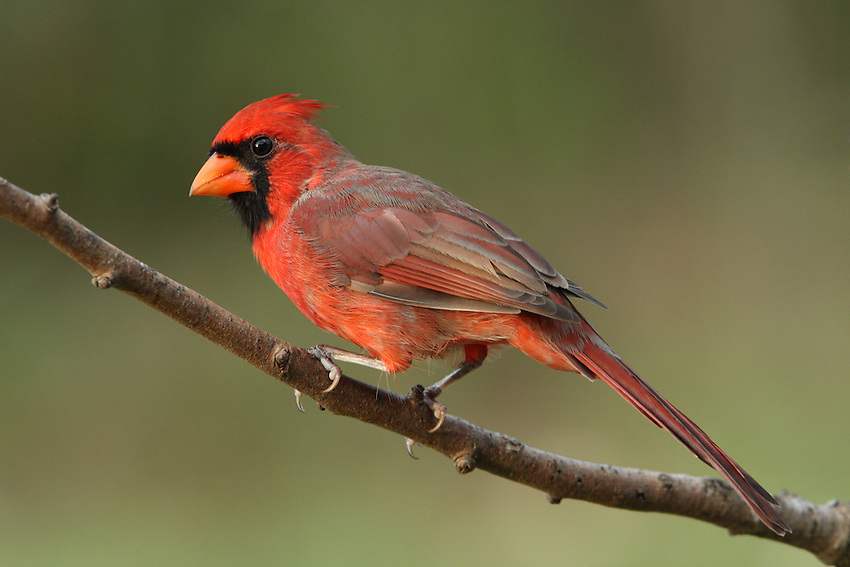 Northern Cardinal male, with late sunset light. L'Image Magazine - Nature & Wildlife Edition.