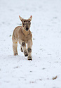 26/03/15<br /> <br /> A young lamb gambols through a snow covered field near Hartington, in the Derbyshire Peak District.<br /> <br /> All Rights Reserved - F Stop Press.  www.fstoppress.com. Tel: +44 (0)1335 418629 +44(0)7765 242650